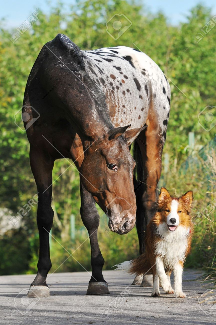Appaloosa horse portrait in summer with puppy border collie Stock Photo - 10685397