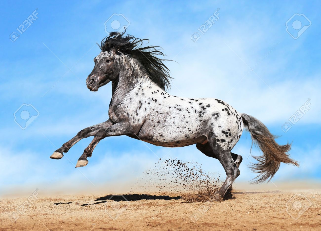 Horse Appaloosa color play on meadow in sky background Stock Photo - 11172393