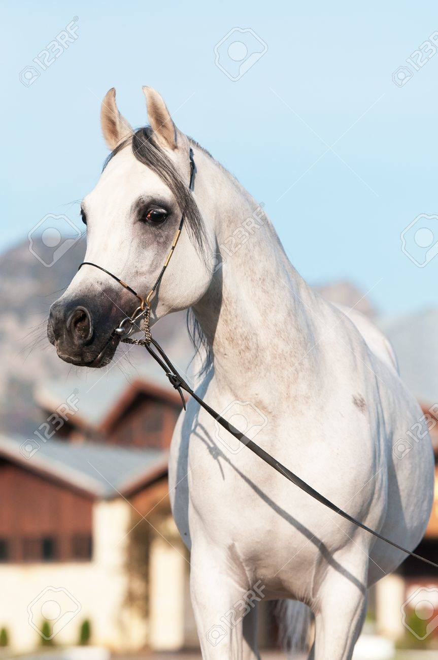 White Arabian Horse Stallion Portrait In Summer Stock Photo Picture And Royalty Free Image Image 11172392