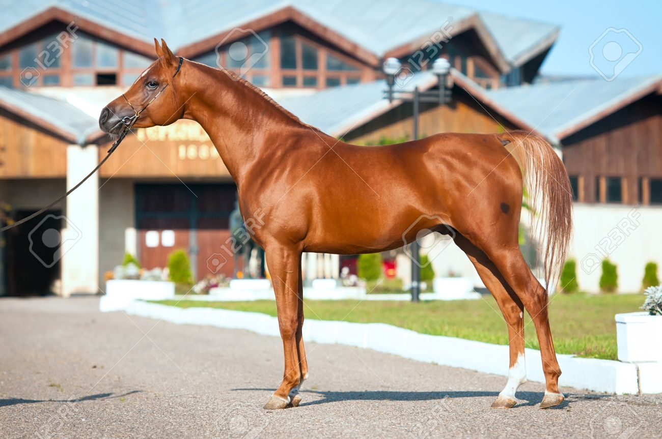 Exterior Of Chestnut Arabian Horse Stallion In Summer Stock Photo Picture And Royalty Free Image Image 11172391