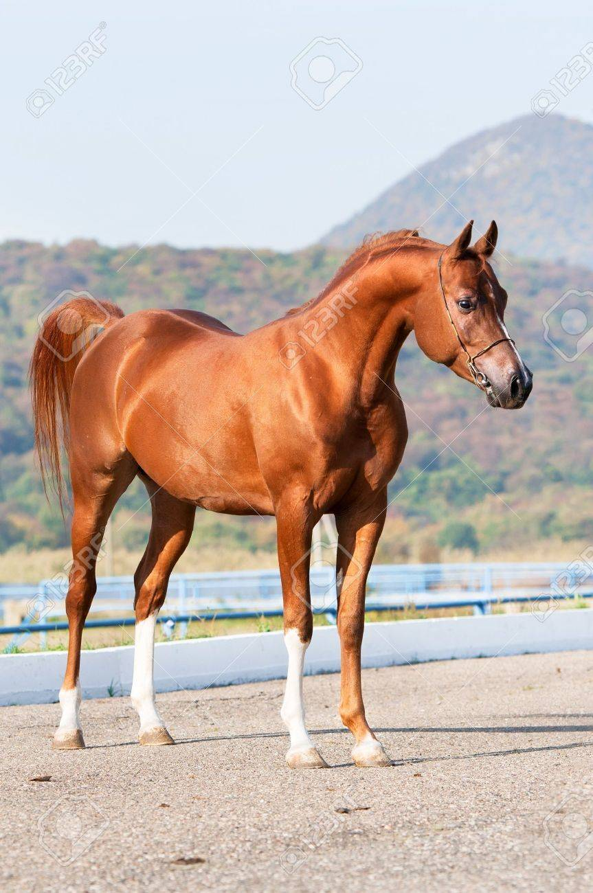 Exterior Of Chestnut Arabian Horse Stallion In Summer Stock Photo Picture And Royalty Free Image Image 11327398