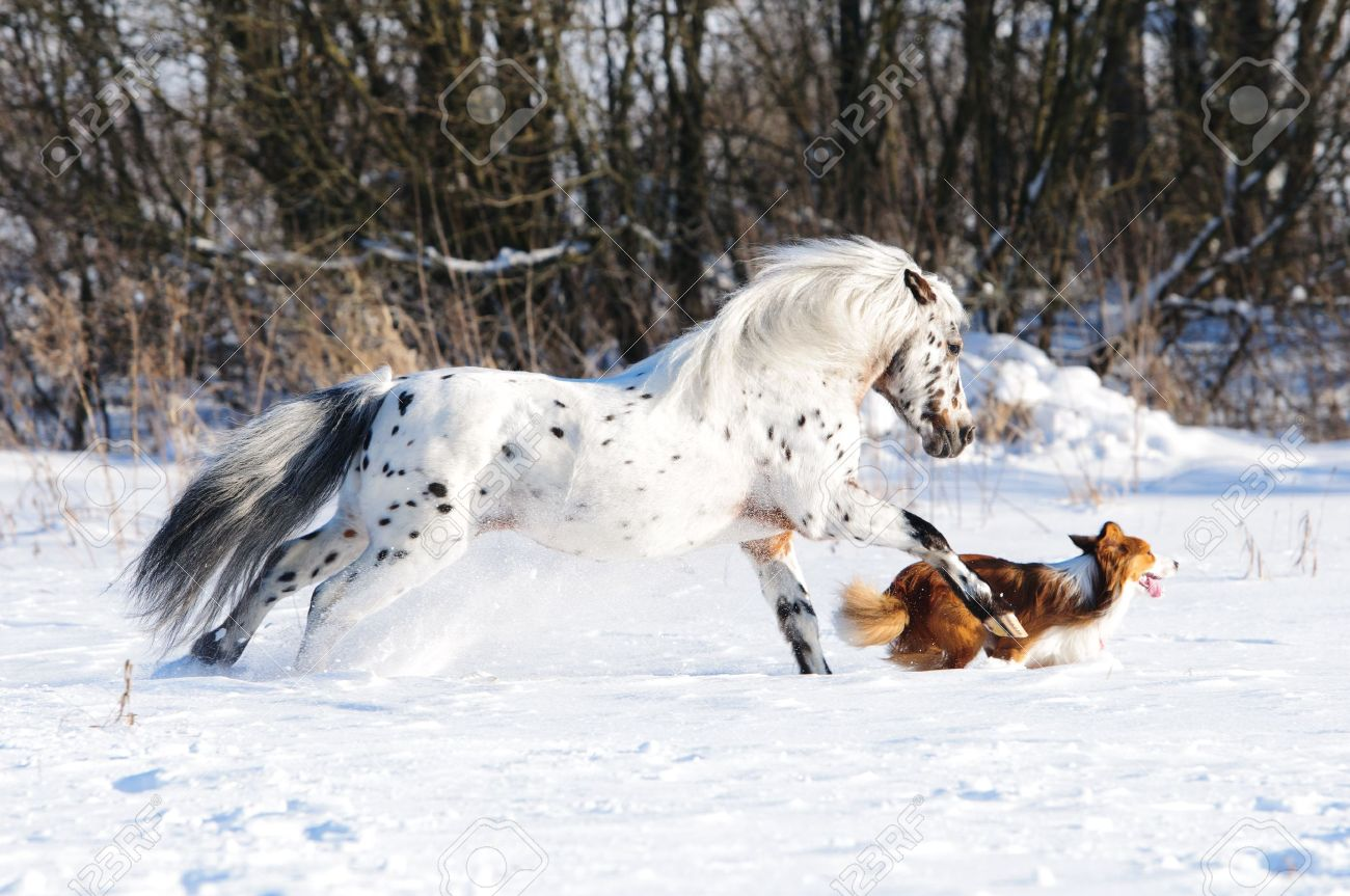 Appaloosa pony and sable border collie runs gallop in winter Stock Photo - 12107693