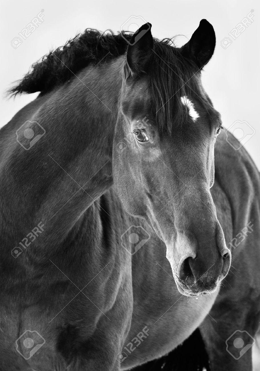 Black horse portrait on grey background black and white photography stock photo 12377794