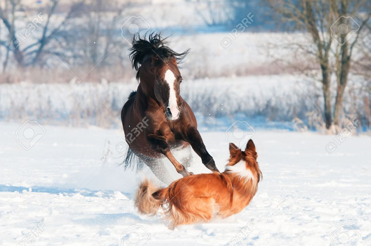Welsh pony and border collie dog play in winter Stock Photo - 12836974