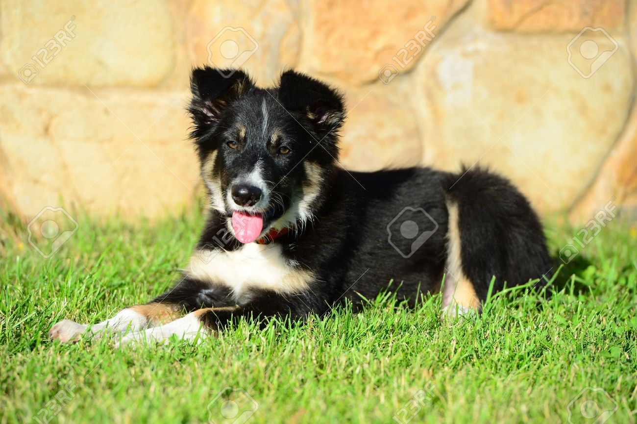 A Tricolor Border Collie Puppy 4 Months Old Dog Laid Down On Stock Photo Picture And Royalty Free Image Image 15128084