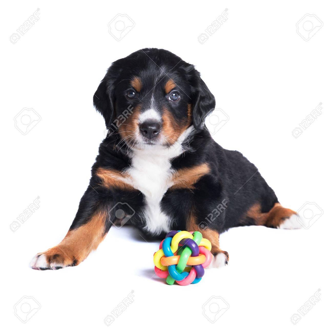 Puppy Appenzeller Sennenhund 5 Weeks Isolated On White