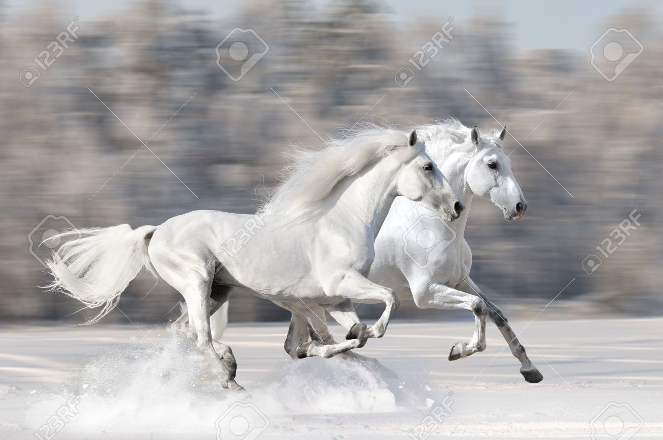 Two White Horses In Winter Run Gallop Fast Stock Photo Picture And Royalty Free Image Image 17305679