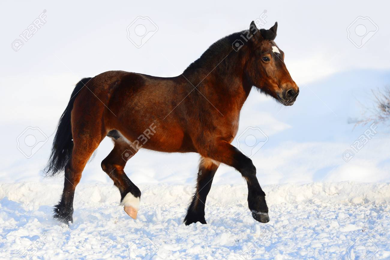 Bay draft horse portrait in motion Stock Photo - 17929494