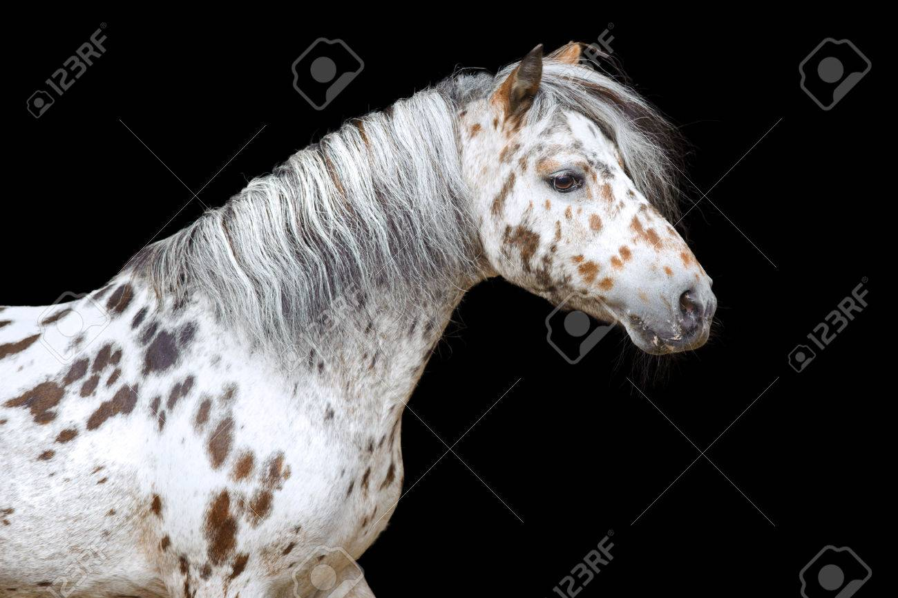 Portrait Of The Beautiful Appaloosa Horse Stock Photo Picture And Royalty Free Image Image 31038906