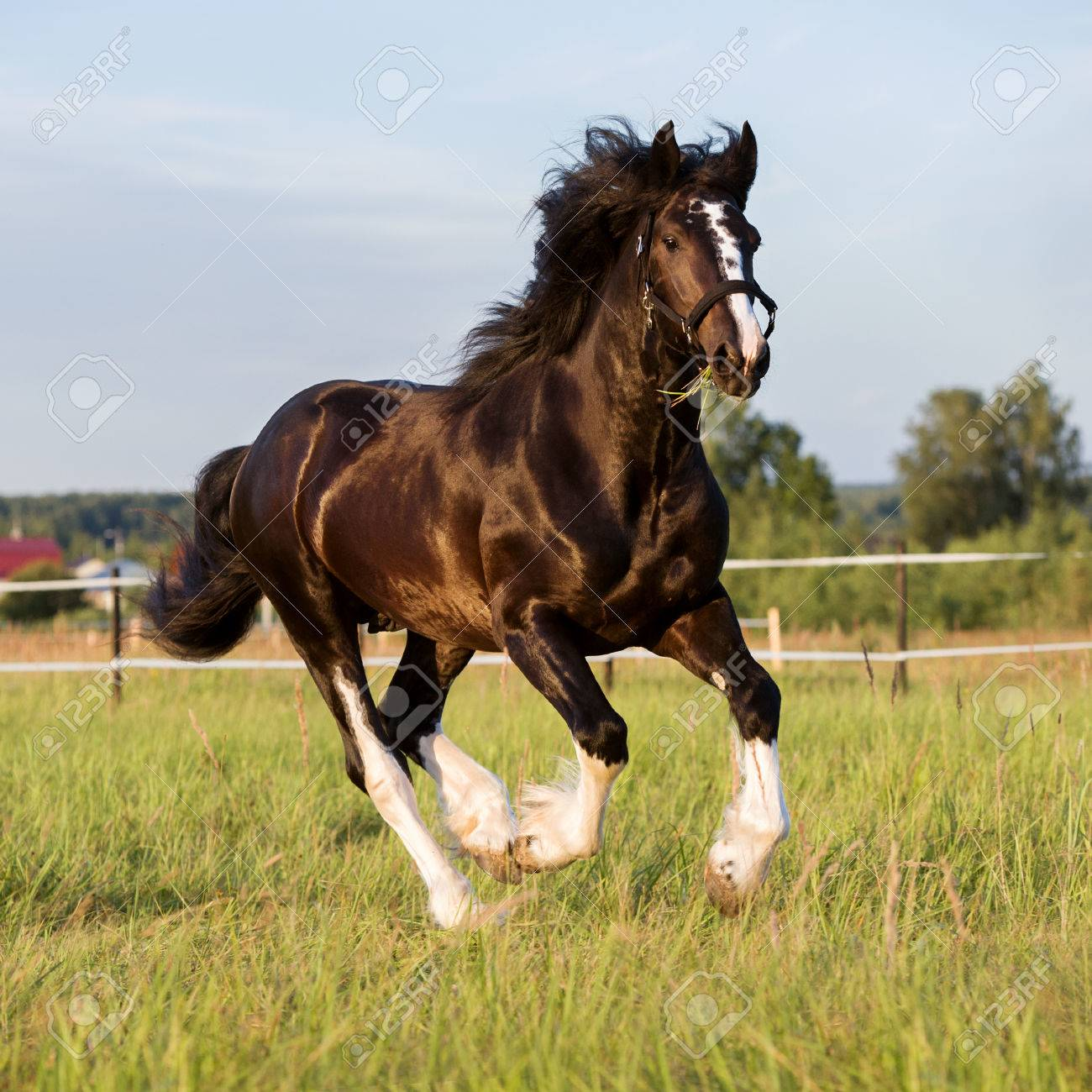 Black Vladimir Draft Horse Runs Gallop On The Pasture Stock Photo Picture And Royalty Free Image Image 44872172