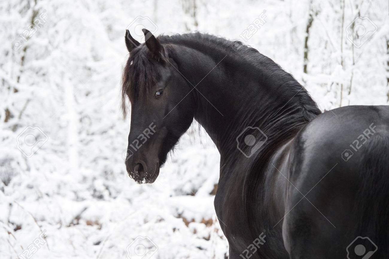 Black Friesian horse on winter background - 50377270