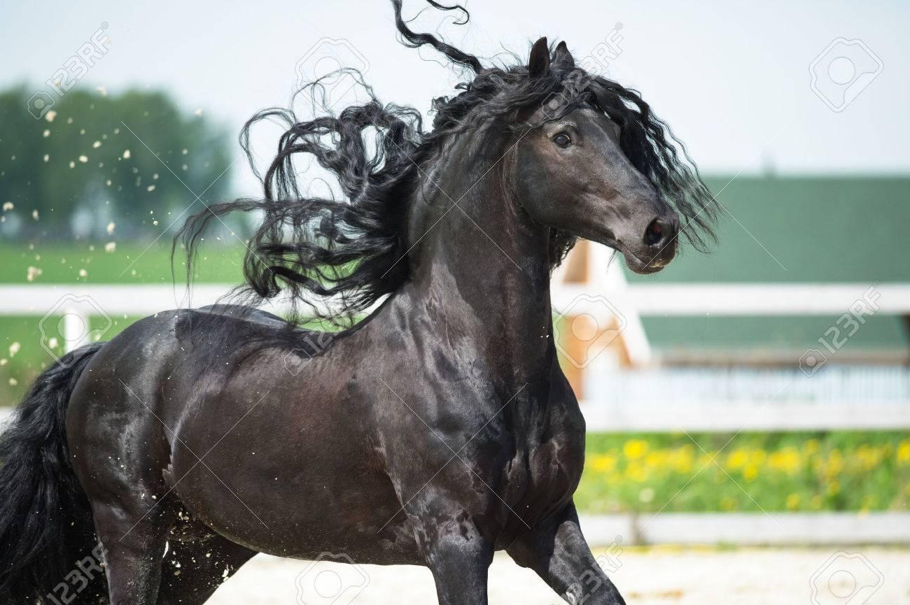– Un post Cheval-Eresque !  - Page 4 64057804-cheval-frison-noir-portrain-en-mouvement-en-%C3%A9t%C3%A9