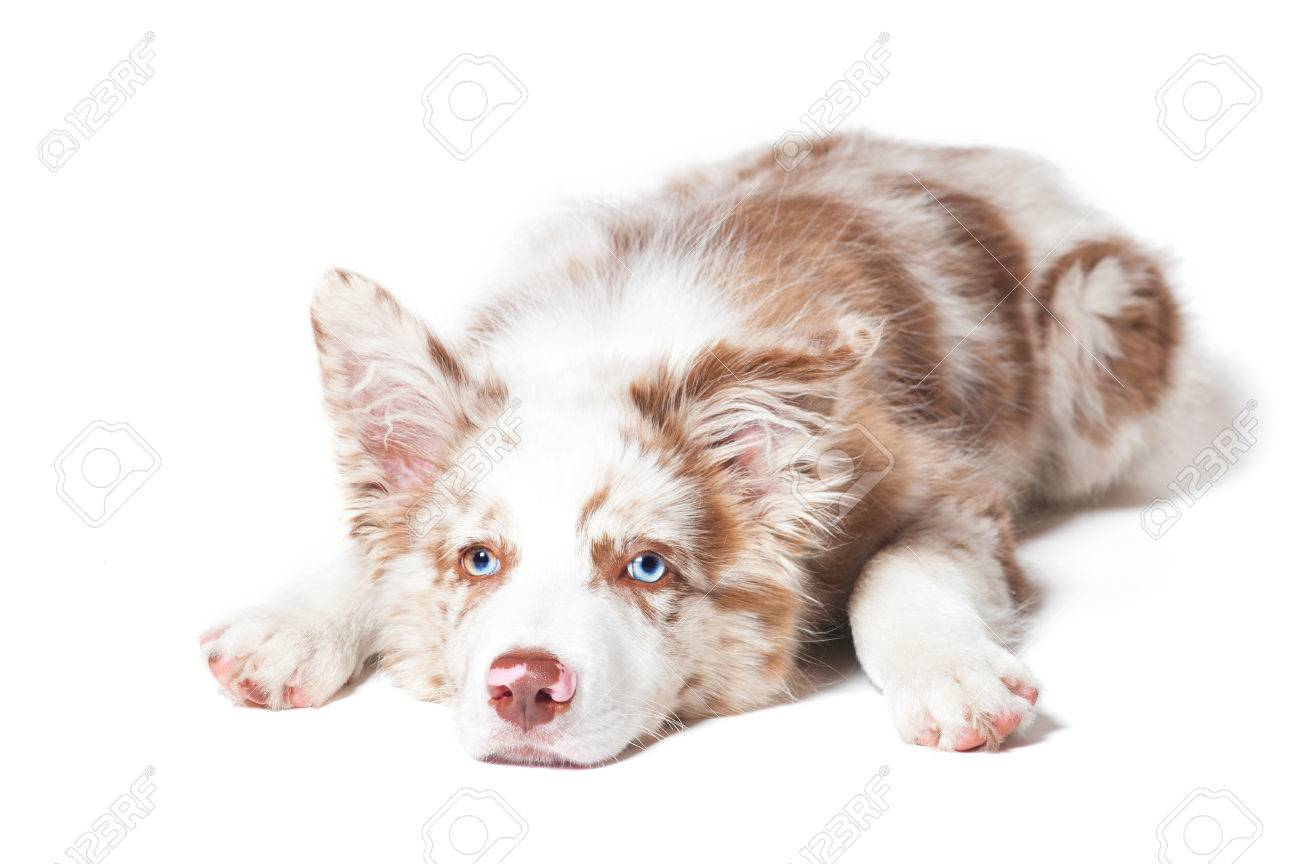 Red Merle Border Collie Puppy Portrait On The White Background Stock Photo Picture And Royalty Free Image Image 81278255
