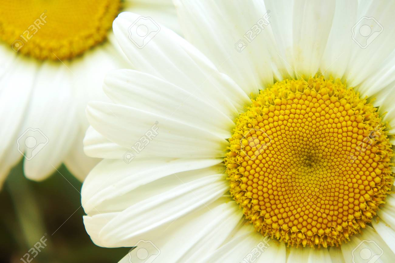 White Big Daisy Flower Daisy Flowers Close Up Yellow Middle