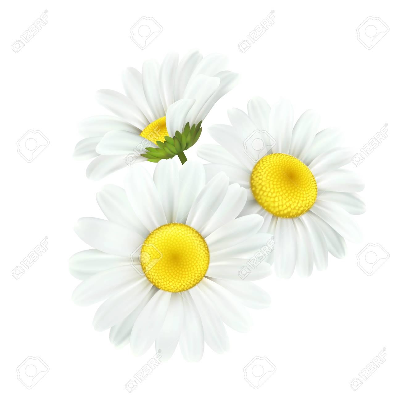 Chamomile daisy flower isolated on white background. Vector illustration EPS10 - 116149008