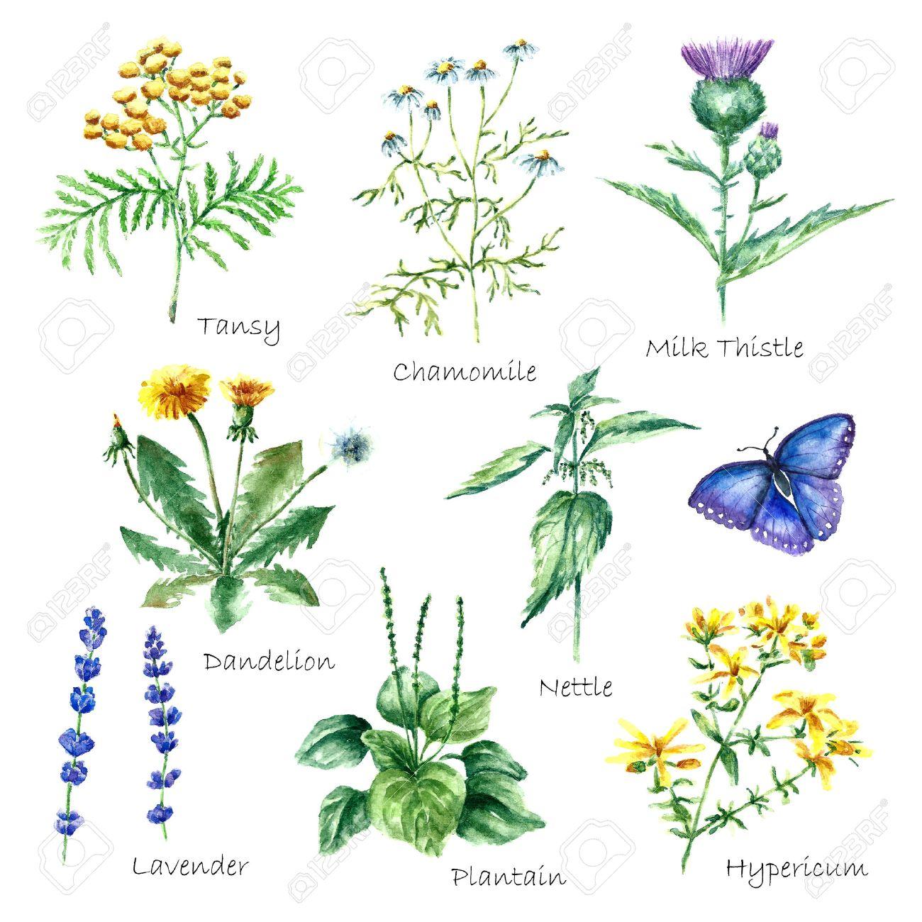 Dibujado A Mano De Acuarela Ilustración Botánica. Plantas ...