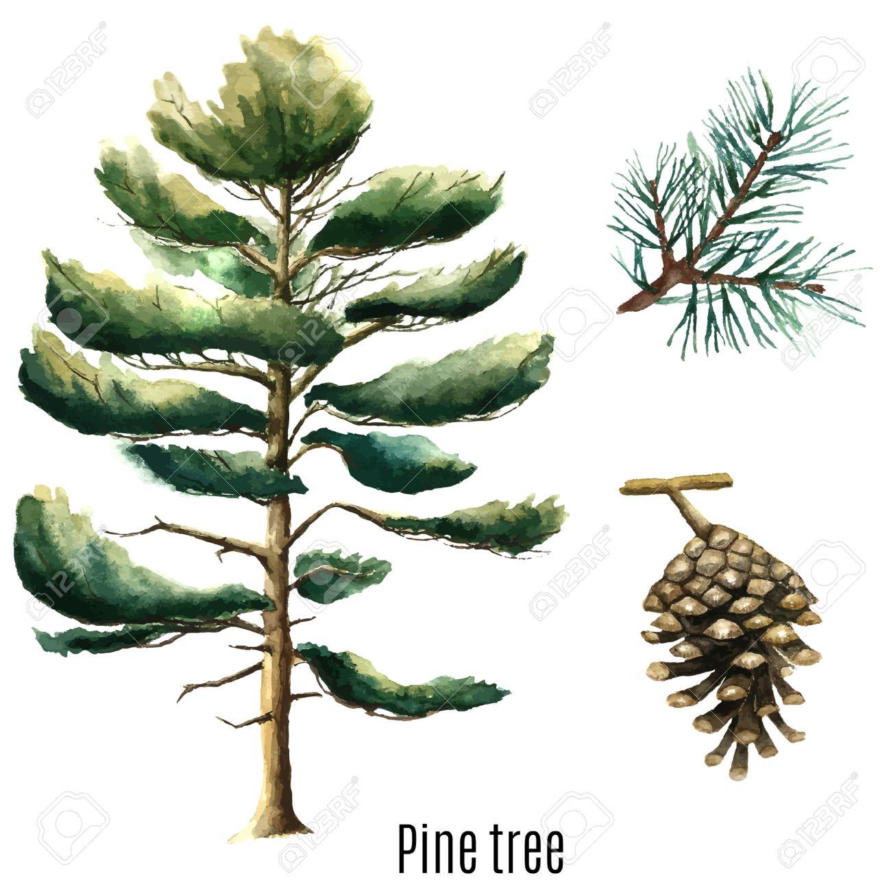 Pine tree watercolor. Vector illustration. - 58721093