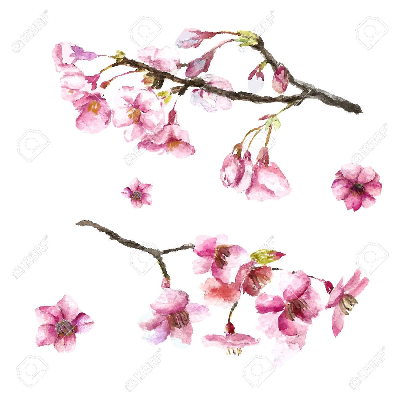 Watercolor Cherry Blossom Hand Draw Cherry Blossom Sakura Branch And Flowers Vector Illustrations Royalty Free Cliparts Vetores E Ilustracoes Stock Image 59266705