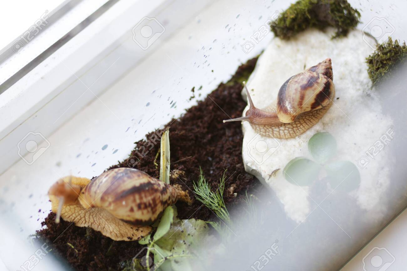 Two Achatina Snails In The Terrarium On The Window Undemanding Stock Photo Picture And Royalty Free Image Image 148360395