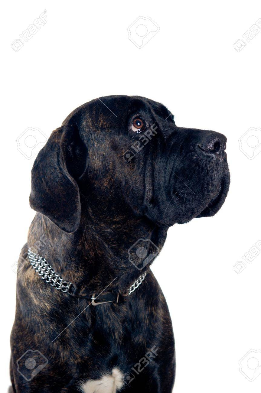 Cane Corso Dog Portrait Isolated On White Stock Photo Picture And