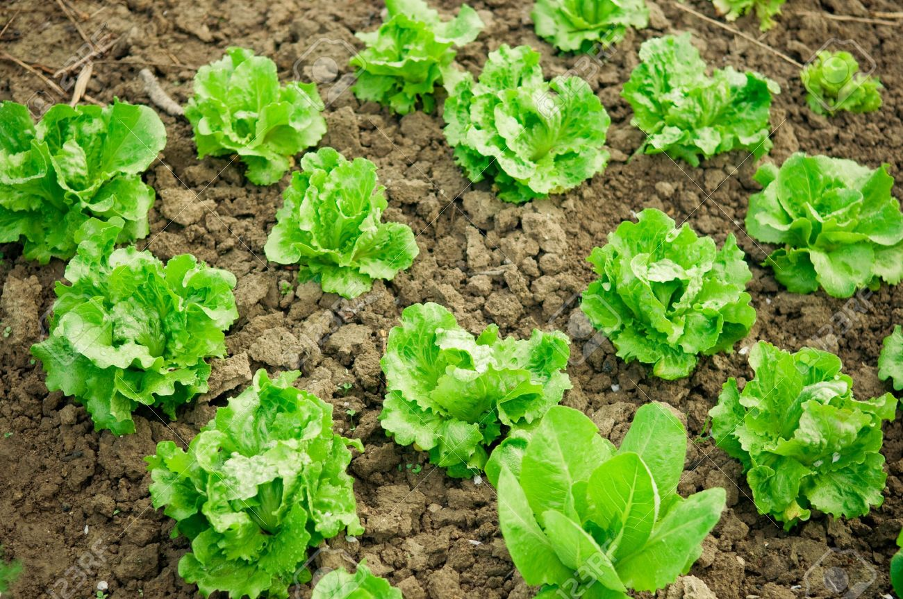 Vegetable garden rows - Stock Photo Vegetable Garden Rows Of Fresh Lettuce Plants