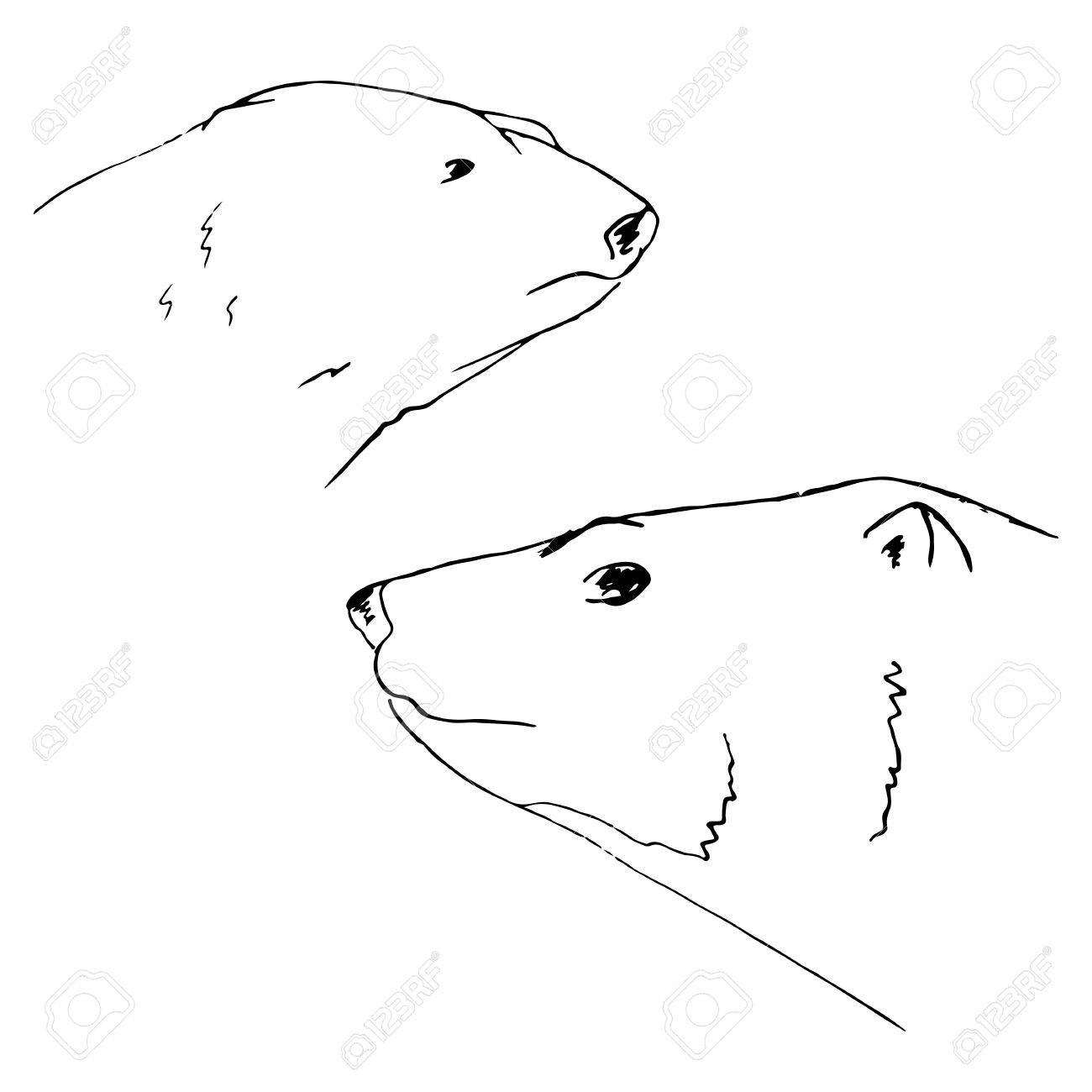 Polar Bear Hand Drawn Bears Sketch Polar Bears