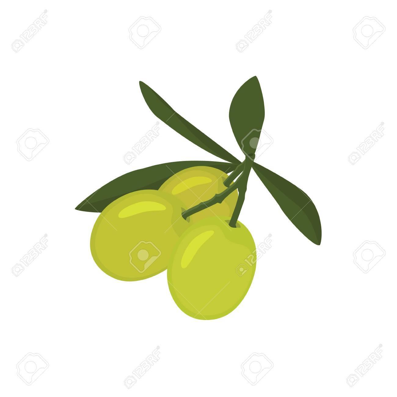 Ilustración Vectorial Rama De Aceitunas Verdes Con Hojas O Cocina ...