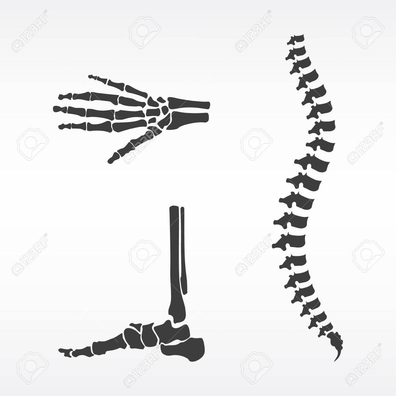 Raster-Darstellung Teile Des Menschlichen Skeletts. Menschliche ...