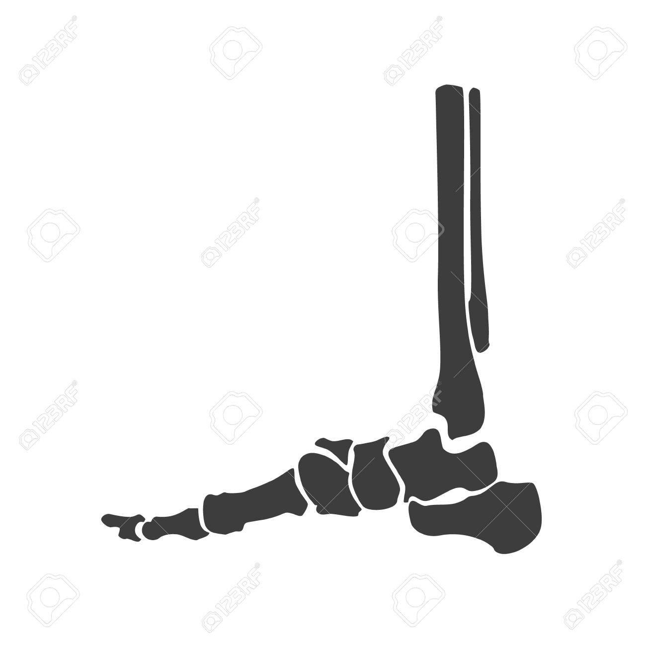 Raster Illustration Foot Bone Anatomy Side View. Orthopedic Flat ...