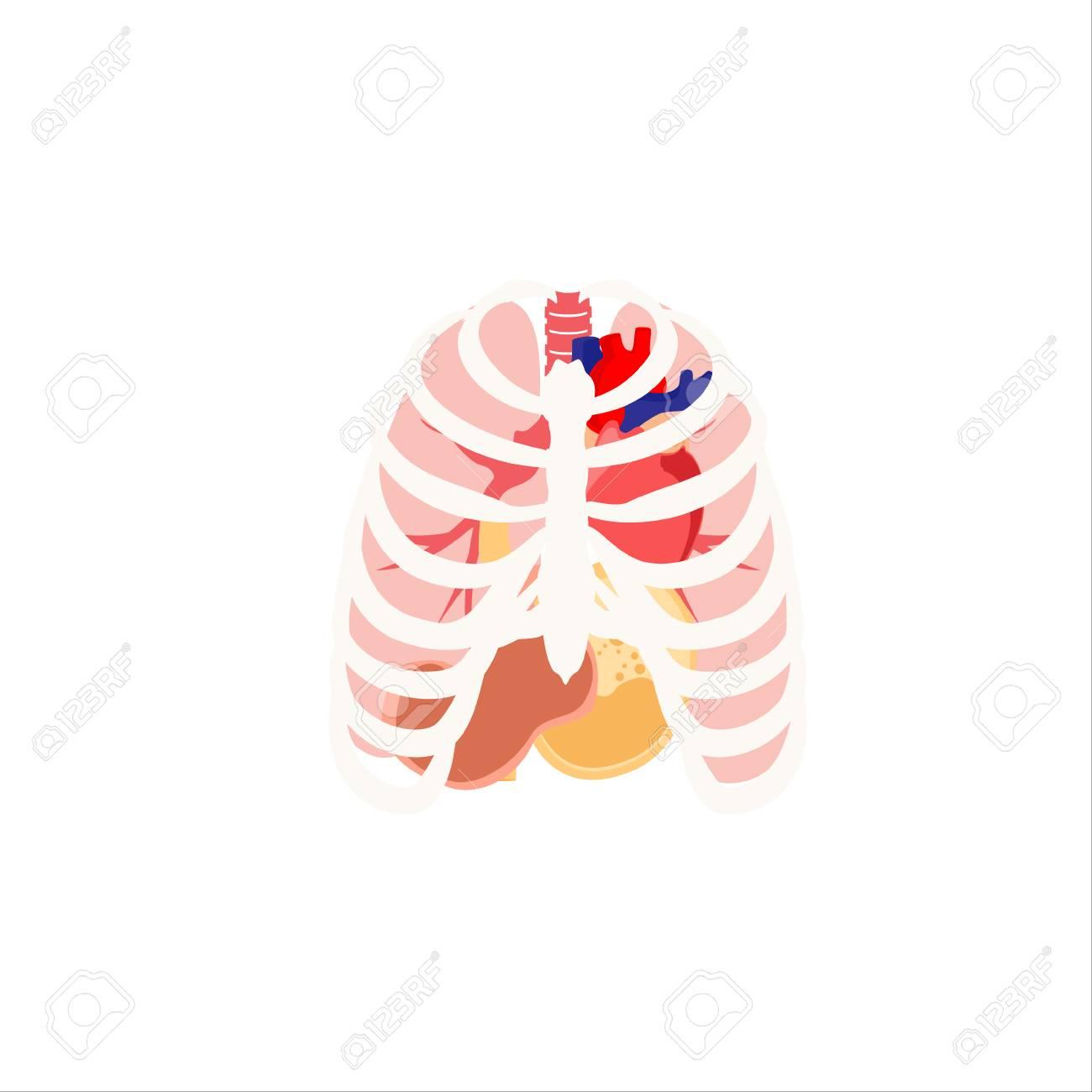 Ilustración Vectorial De Los órganos Humanos. La Caja Torácica, Los ...