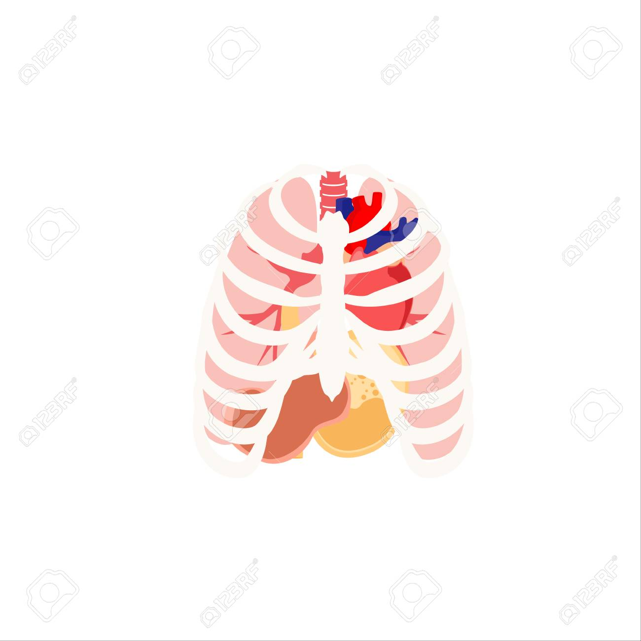 Vector Illustration Of Human Organs. Rib Cage, Lungs, Heart And ...