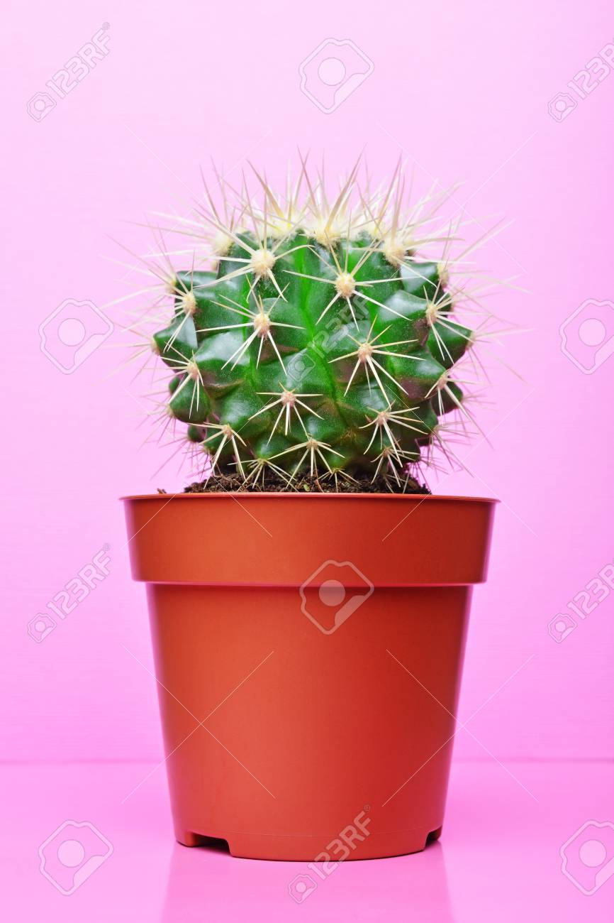 Small green cactus in red flower pot on bright pink background stock small green cactus in red flower pot on bright pink background stock photo 103612561 mightylinksfo