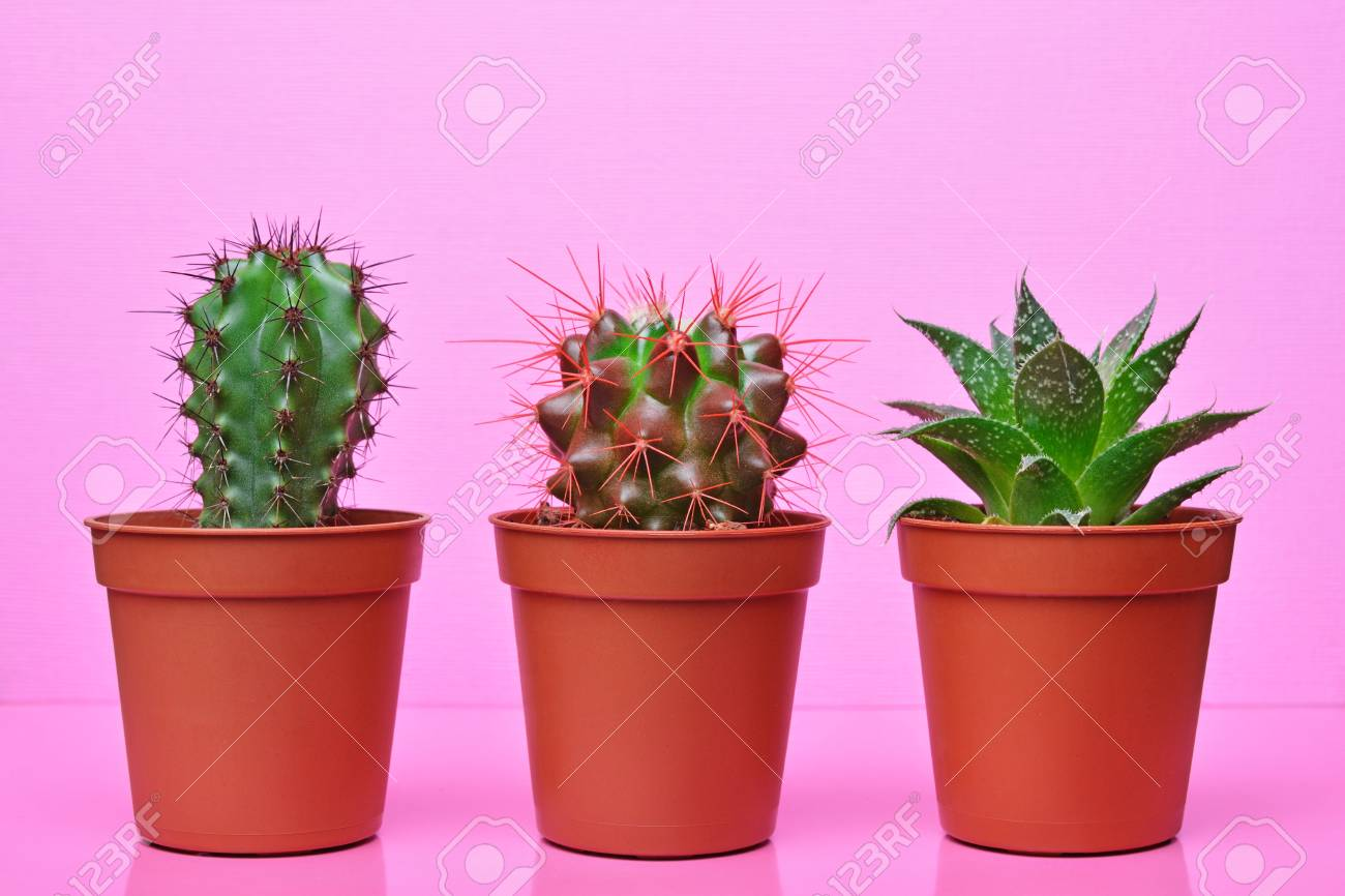 Small green cacti in red flower pots on bright pink background stock small green cacti in red flower pots on bright pink background stock photo 103612569 mightylinksfo