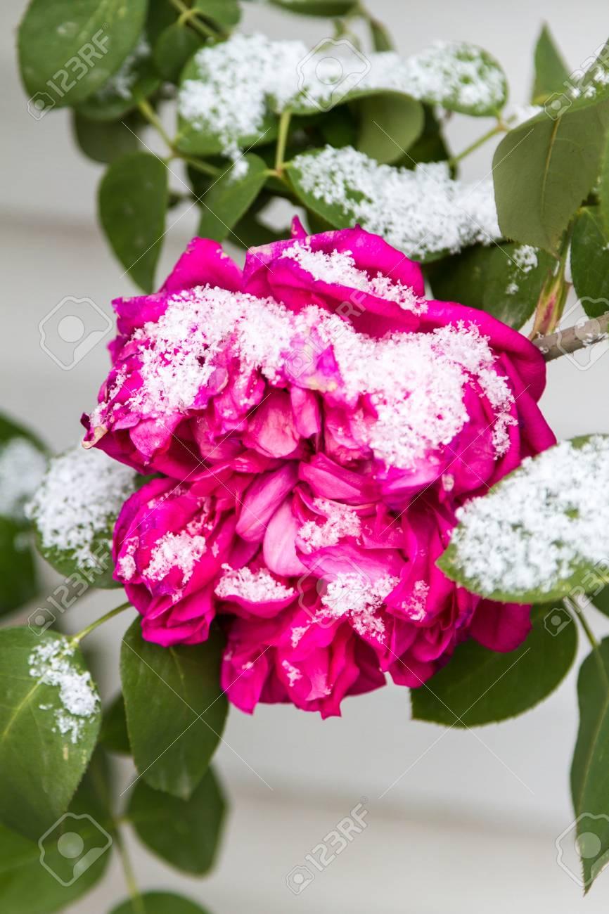 Fleur Congelee Sous Une Fleur De Rose Des Neiges Sur Une Branche