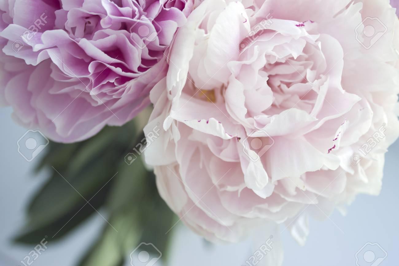 ピンク牡丹牡丹薔薇花 パステル花柄の壁紙の新鮮な束をクローズ