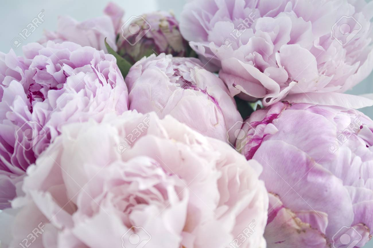 Closeup Fresh Bunch Of Pink Peonies Peony Roses Flowers Pastel Floral Wallpaper Card