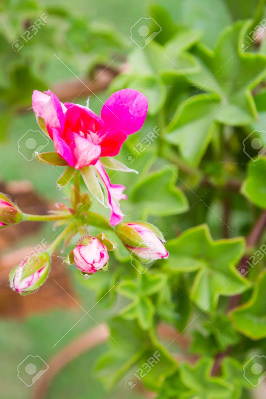 Rosa Blumen Draußen In Töpfen Im Sommer Geranie Lizenzfreie Fotos ...