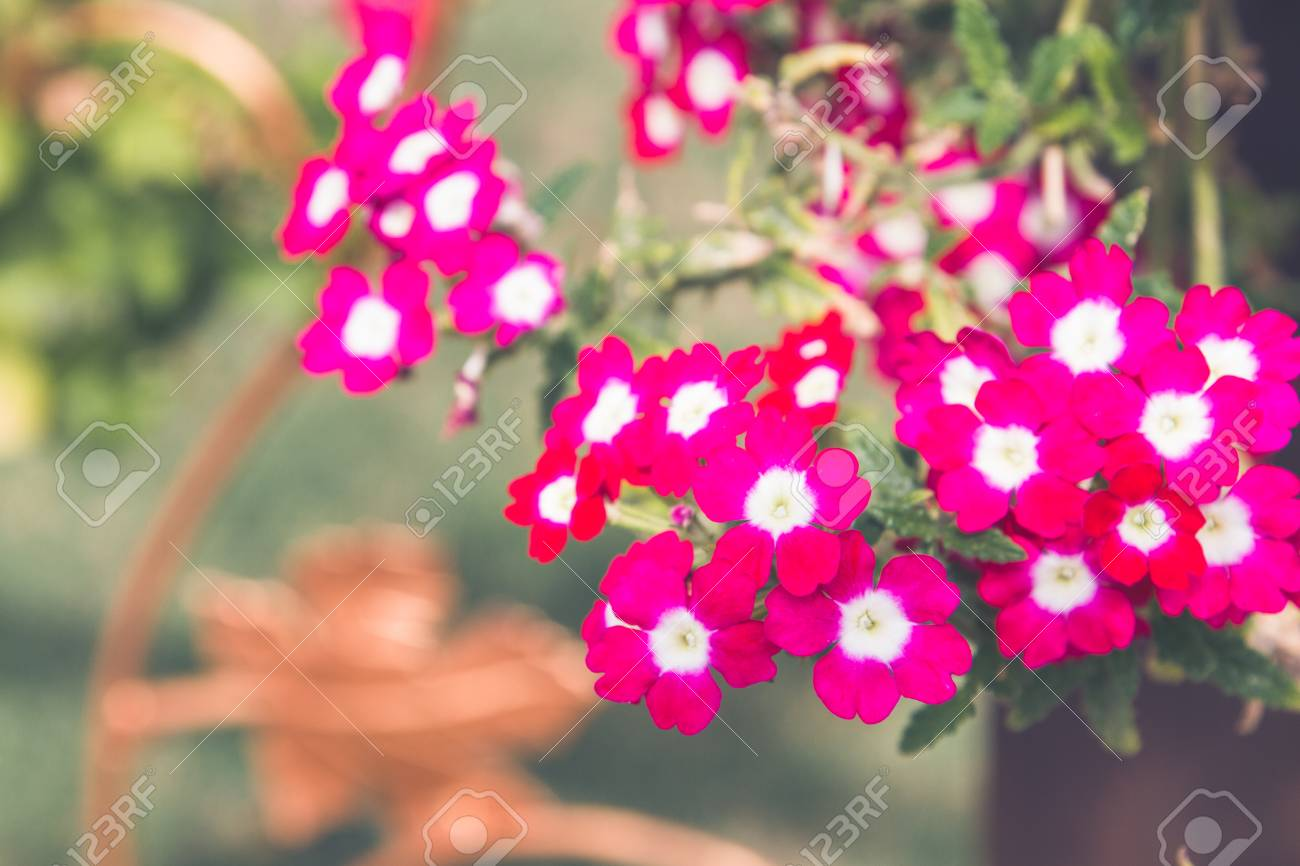Pink Flowers Outside In Pots In Summer Geranium Stock Photo Picture