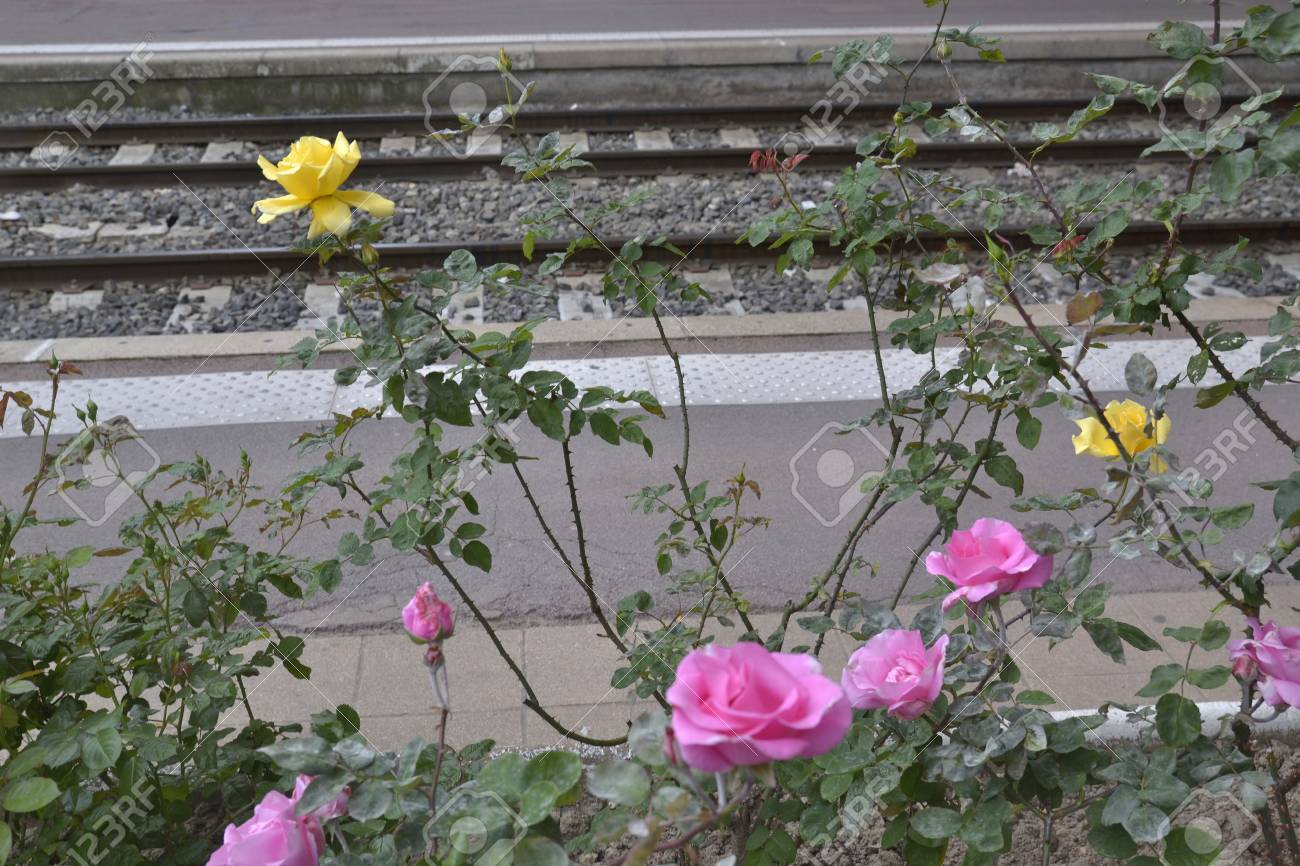 Rose Bushes With Pink And Yellow Flowers Growing Near A Railway