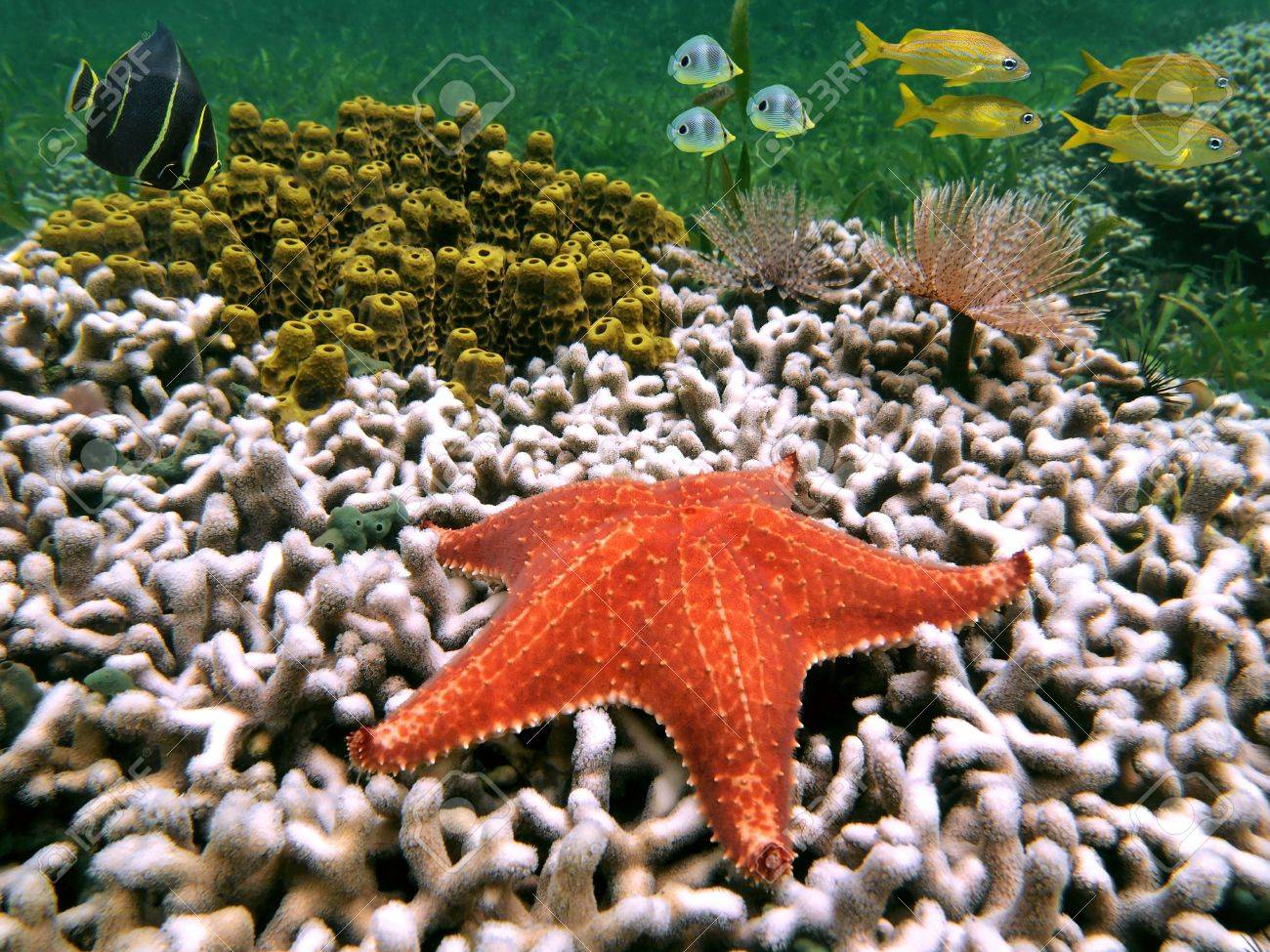 Sea Star With White Coral, Yellow Tube Sponges And Colorful Tropical ...