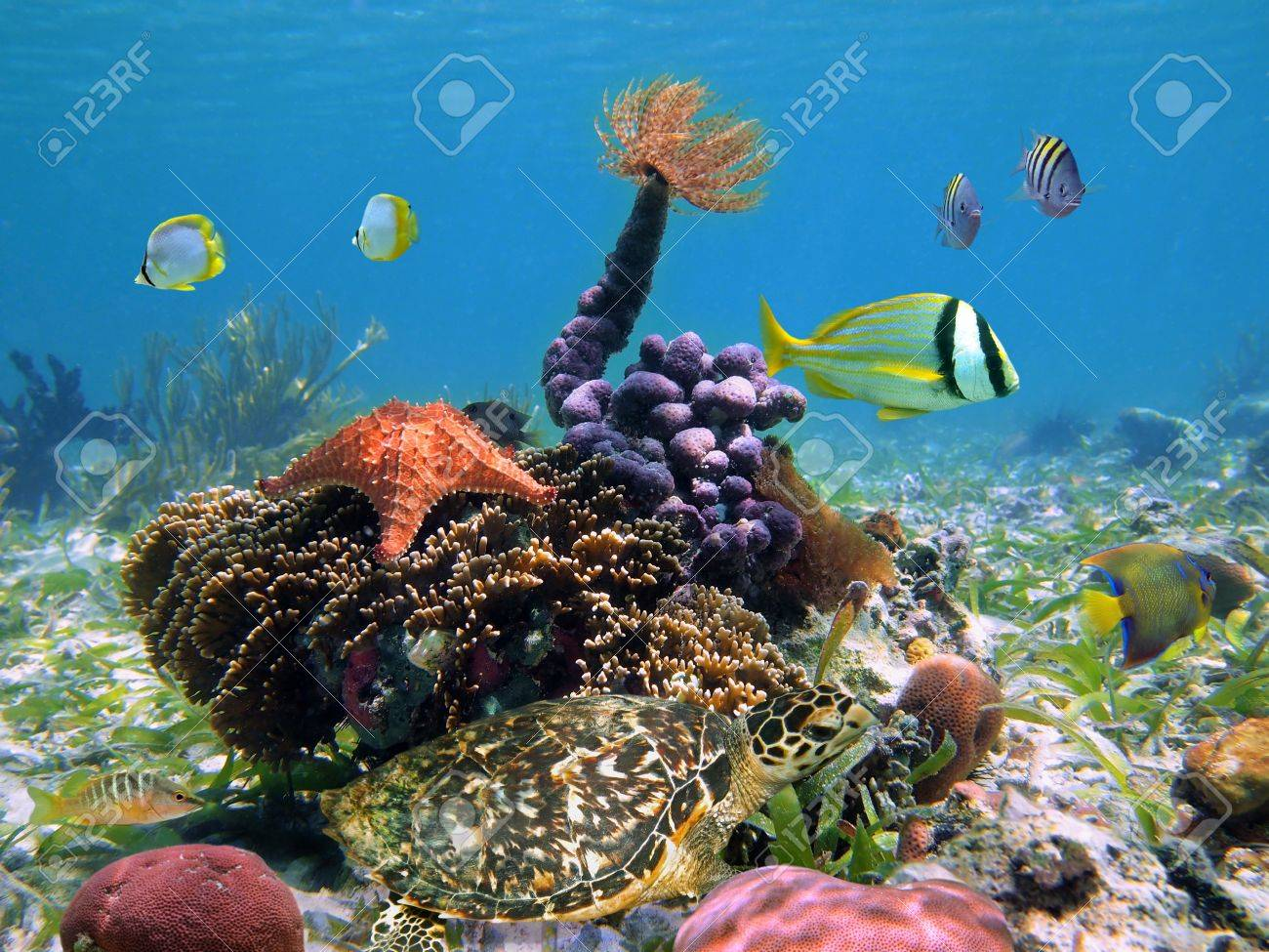 Green turtle with colorful tropical marine life in a coral reef, Caribbean, Bocas del Toro, Panama Stock Photo - 11252632
