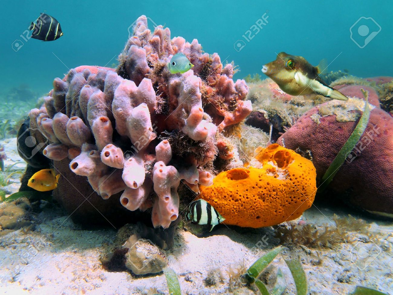 Colorful tropical fish and sea sponges in a Caribbean coral reef Stock Photo - 11535197