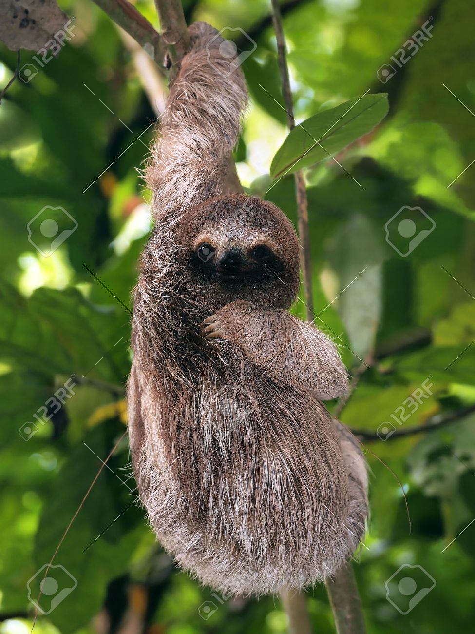 young brown throated three toed sloth hanging from a branch stock