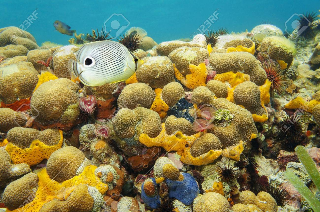 the butterfly fish as the indicator of coral reef health