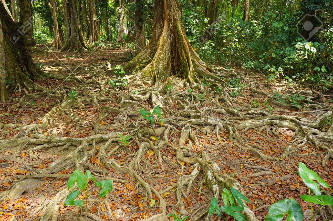 Boden Nach Wurzeln Der Tropischen Baume Im Dschungel Von Costa Rica