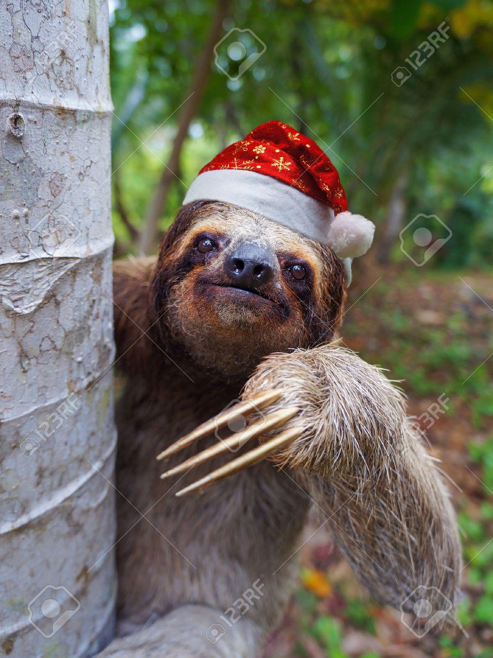 Christmas Sloth.Christmas Animal Portrait Of A Sloth Wearing A Santa Hat