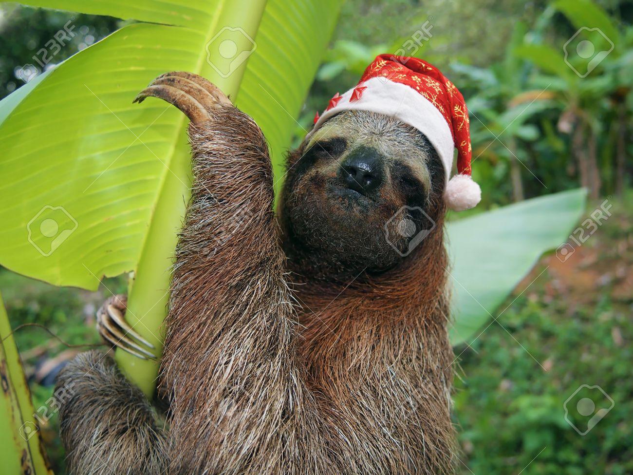 Christmas Sloth.Christmas Animal Portrait Of A Sloth Wearing A Santa Hat Costa