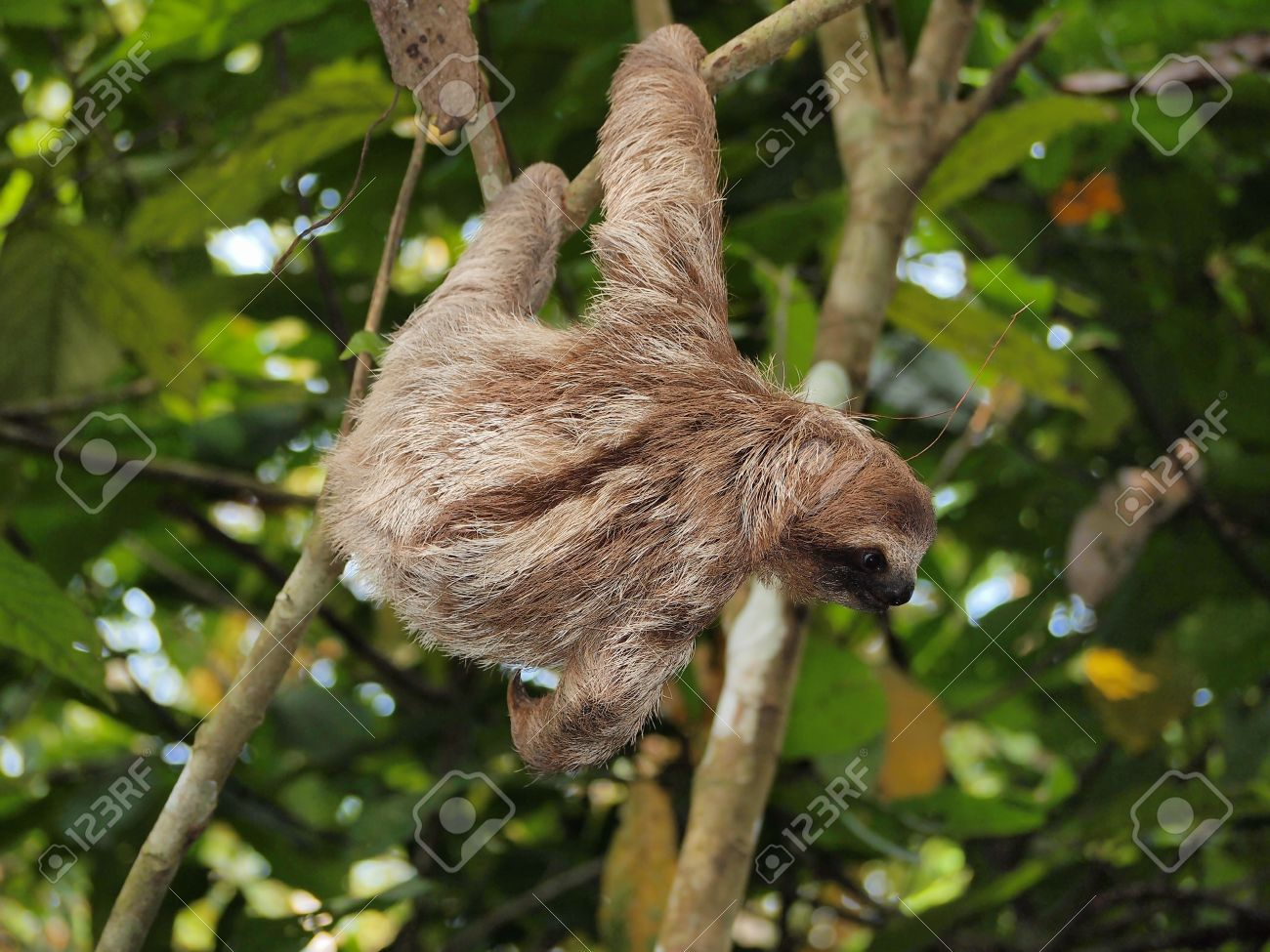 young brown throated three toed sloth hanging from a branch in