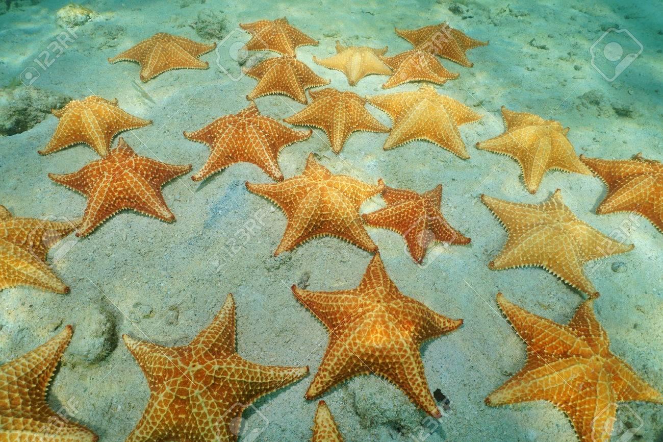 cluster di stella marina subacqueo, cuscino mare stella, oreaster