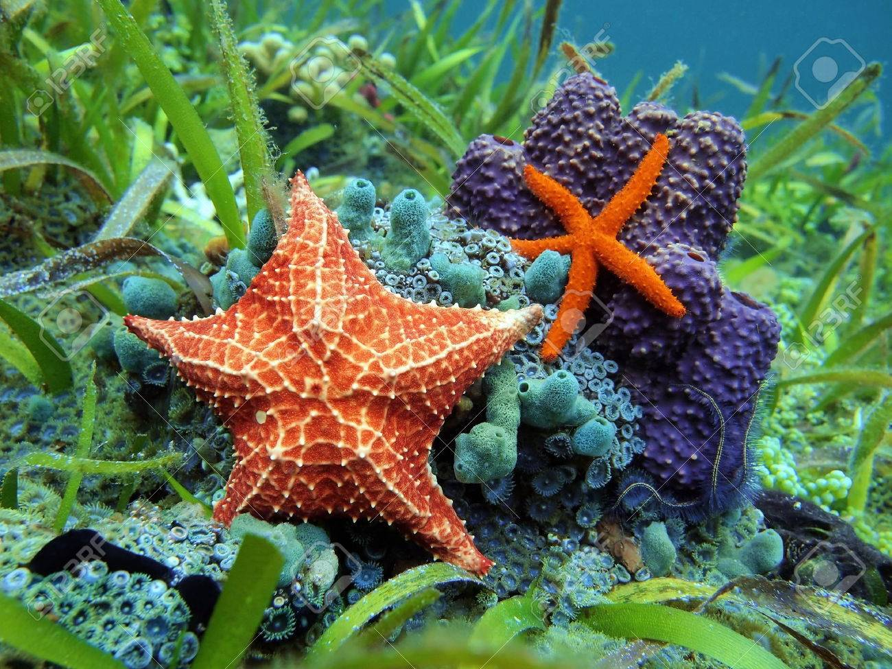 Starfishes Sous Leau Avec Une étoile Comète Commune Et Une étoile De Mer Coussin Sur La Vie Marine Colorée Mer Des Caraïbes
